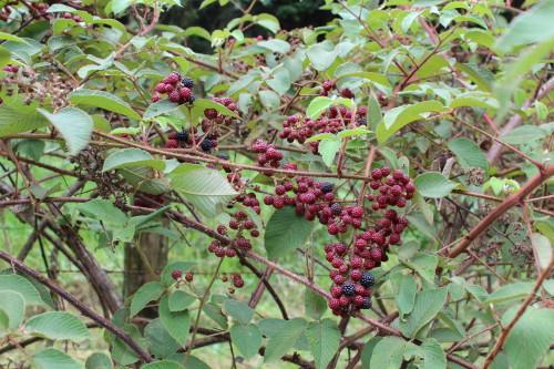 Blackberries grow wild at El Silencio