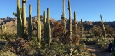 A grouping of cactus like this is called a choir of cactus!